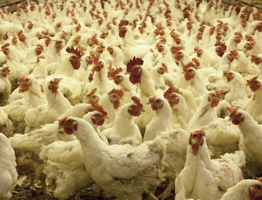 Антимонопольный комитет, курятина, конкуренция