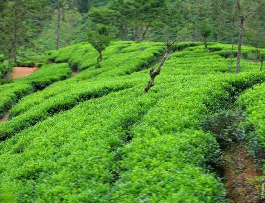цейлонский чай, чай, Шри-Ланка