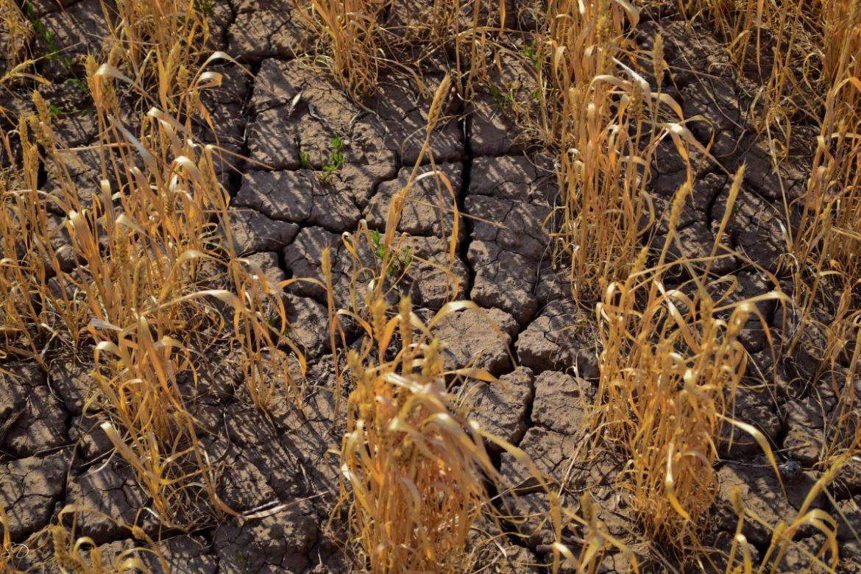 аномальная жара 2018, урожай зерна 2018, урожай зерновых в России, жара в Европе 2018, цены на зерно урожая 2018