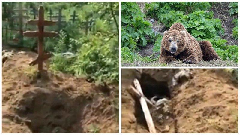 Медведь разрыл могилу