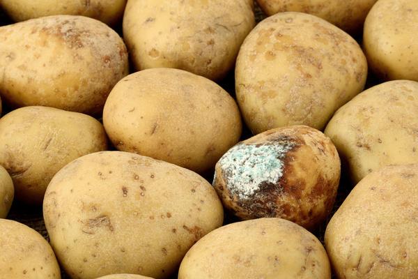 картофель с плесенью