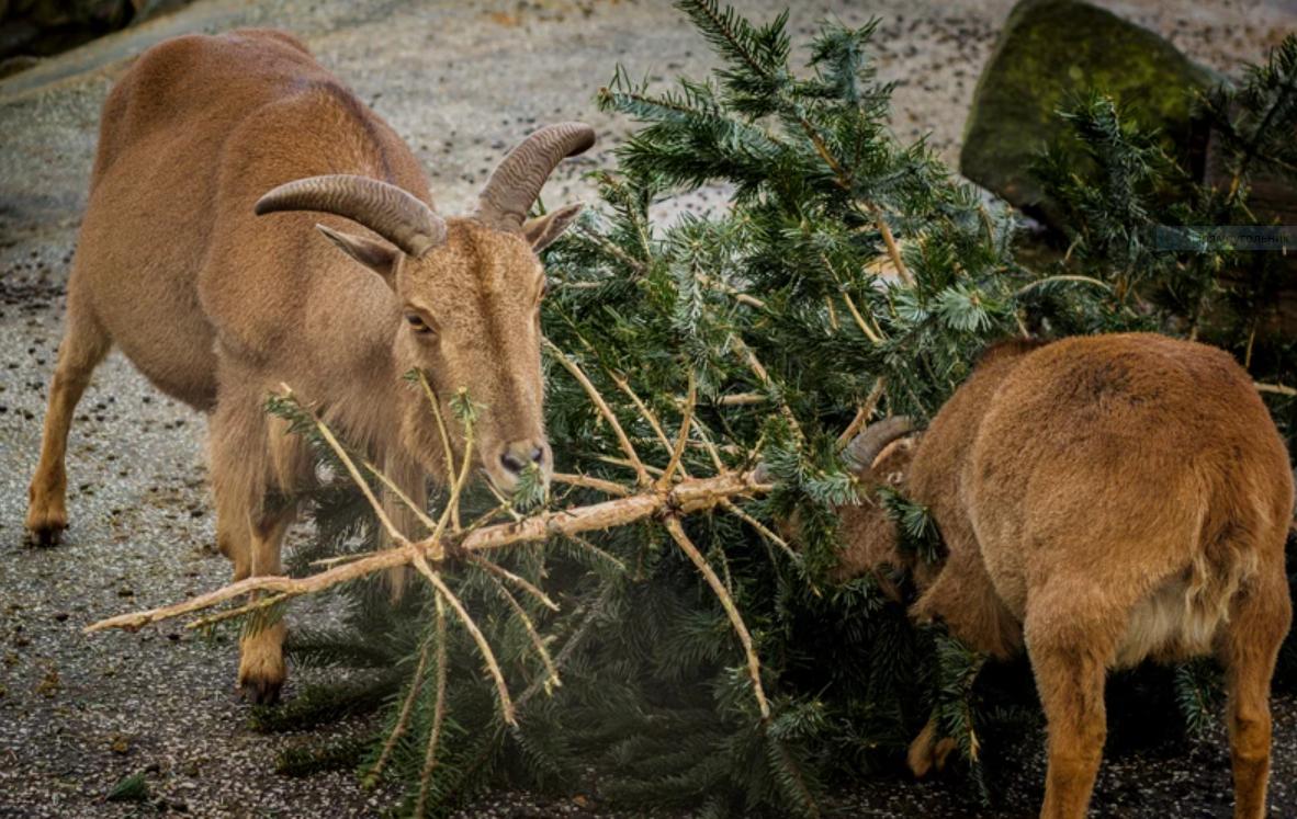 козлы едят выброшенную елку