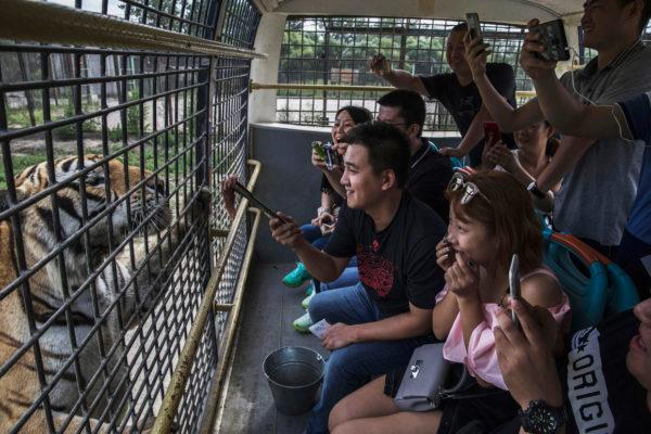 тигр в клетке