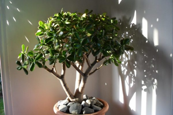 Красула (Денежное дерево)