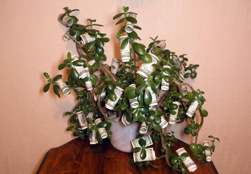 Денежное растение