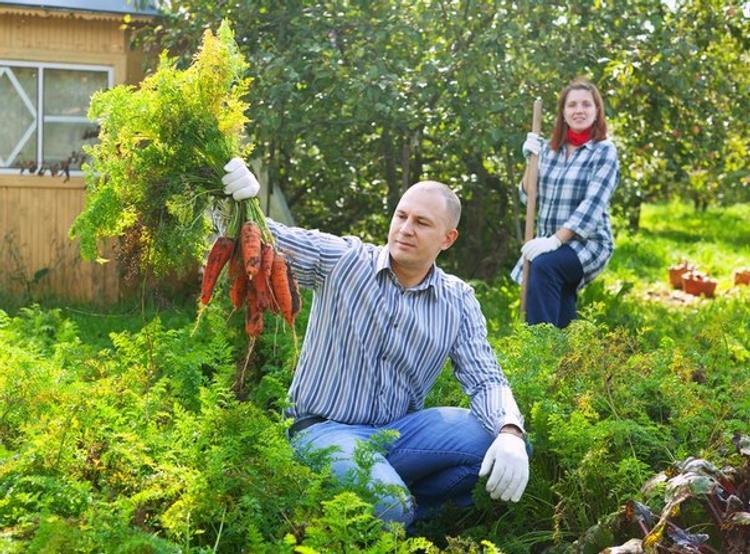 Дачники собирают морковь на участке