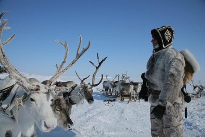 Мужчина и олени на Севере