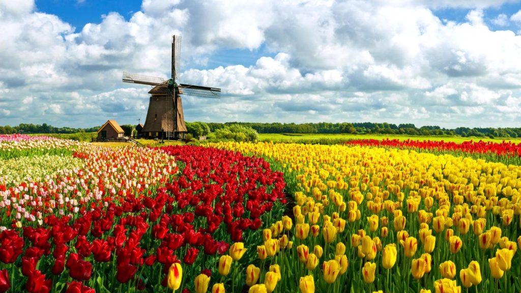 Поле тюльпанов и мельница в Нидерландах