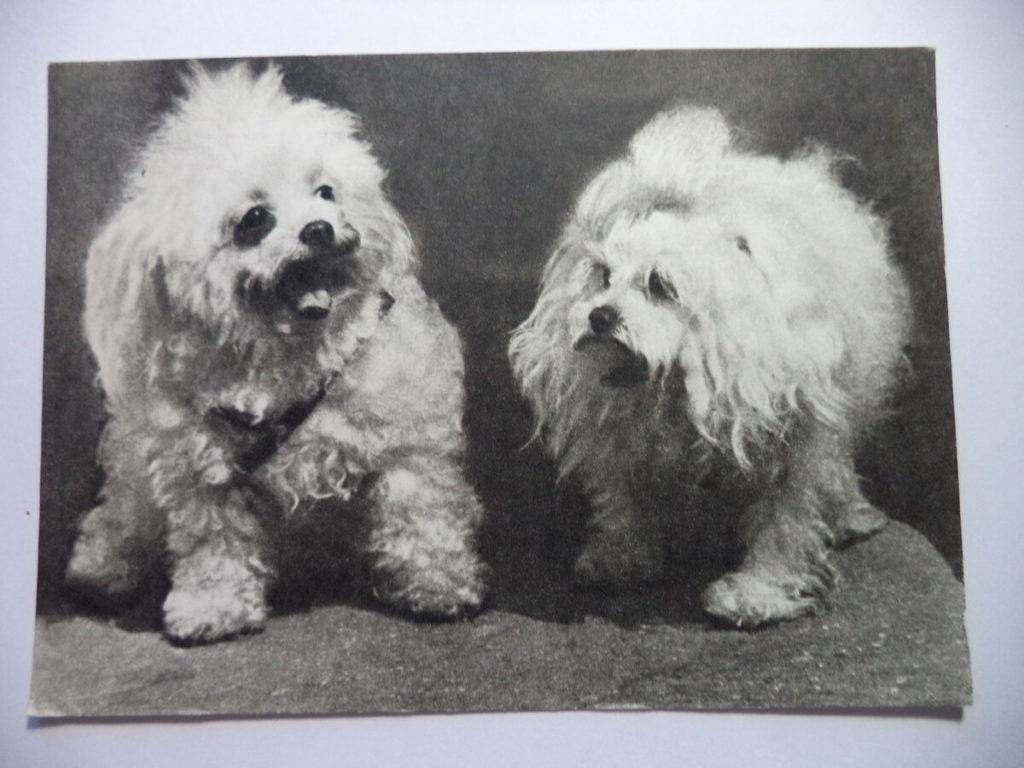 Белые болонки на старом фото