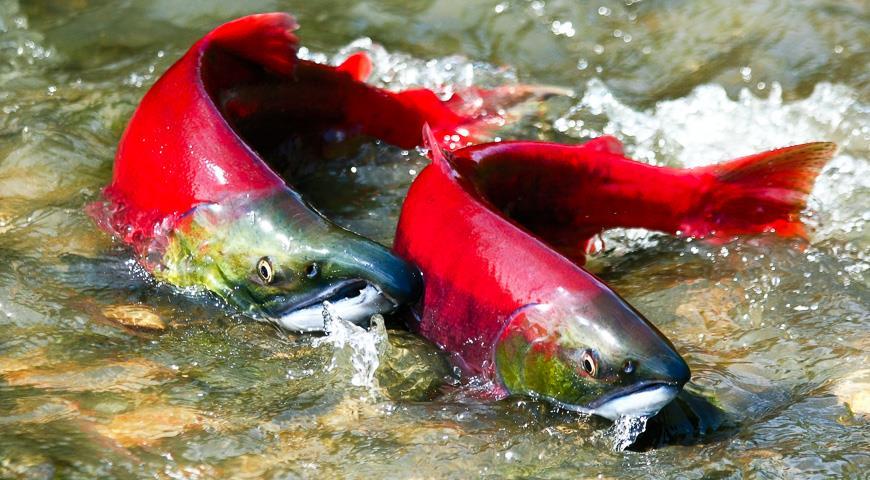 Две красных нерки в воде