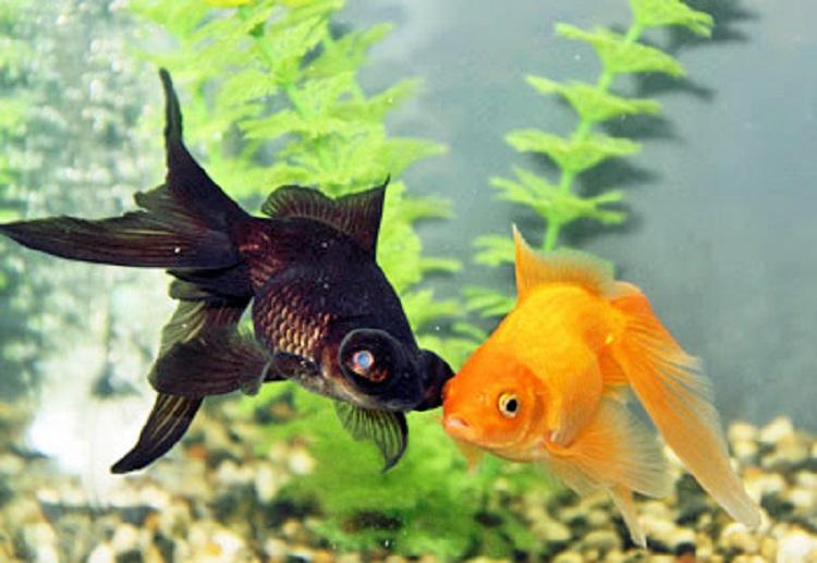 Золотая и черная рыбки